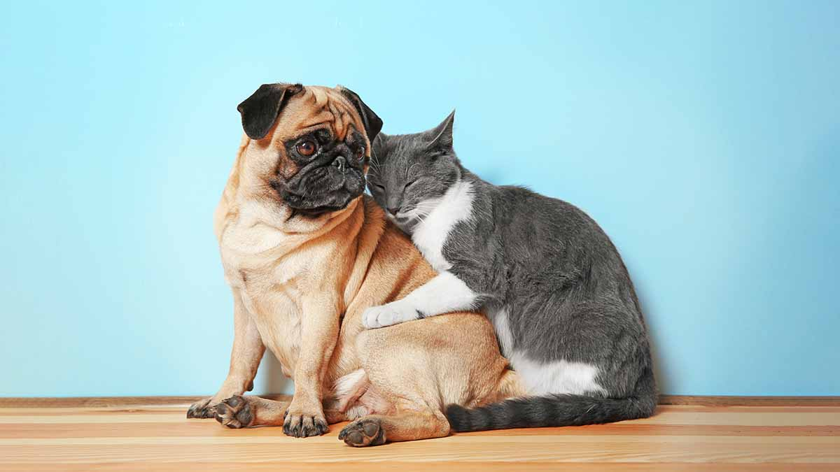 cute grey cat hugging tan pug dog
